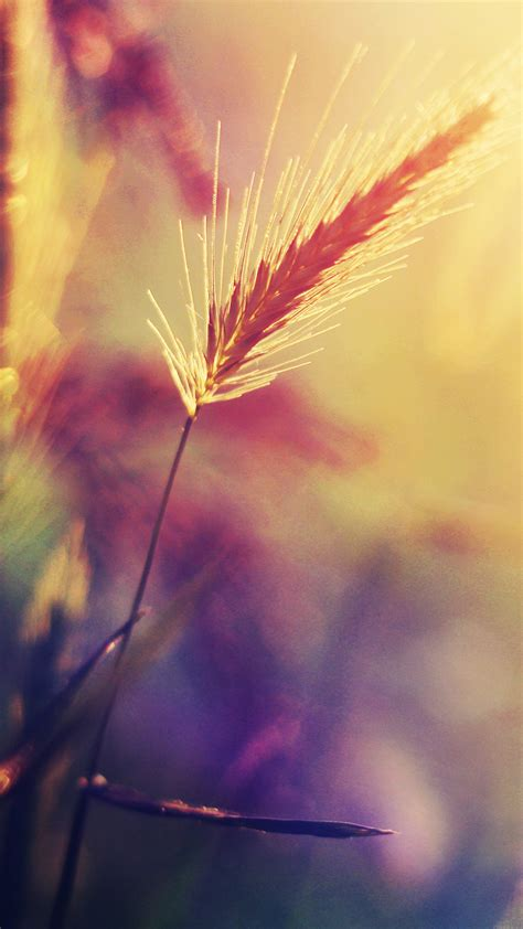 papersco iphone wallpaper mm sunset reed flower