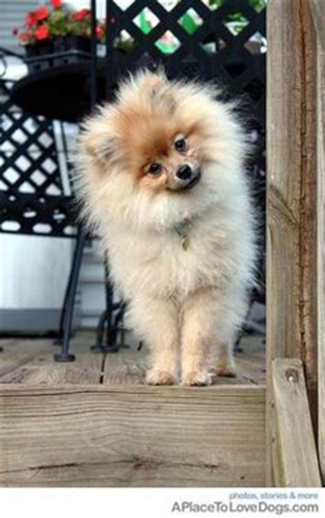 teacup pomeranian how big do they get 1000 images about pomeranians on pomeranian puppy pomeranian dogs and