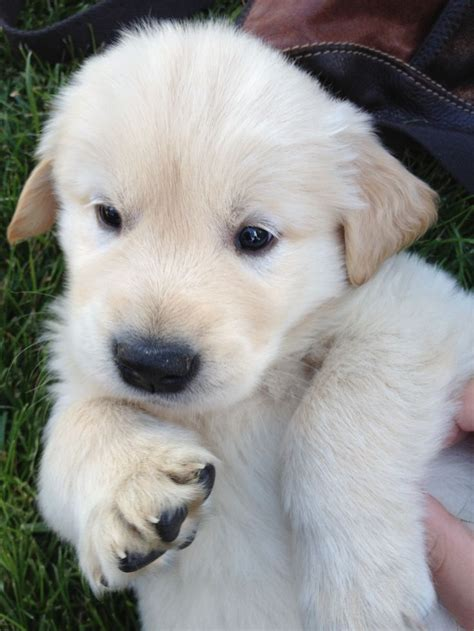 6 week puppy golden retriever puppy 6 weeks things i