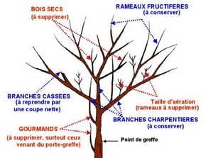 la taille des arbres fruitiers mycorhize