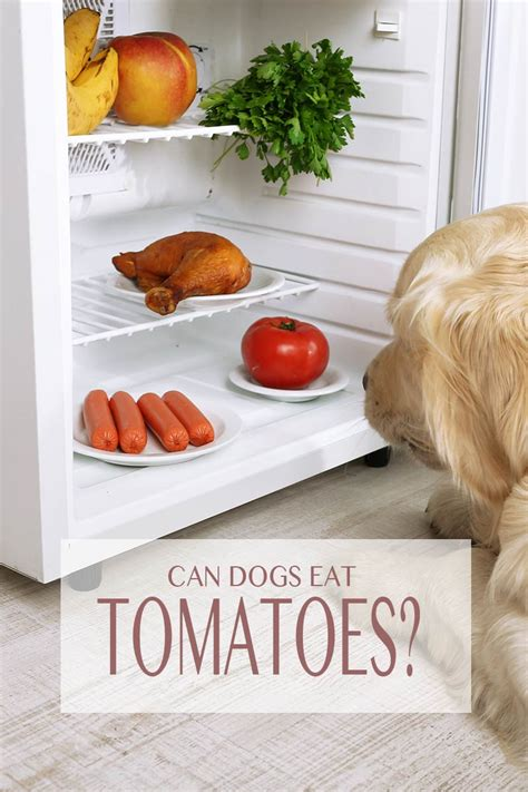 can dogs tomatos can dogs eat tomatoes a food safety guide by the labrador site