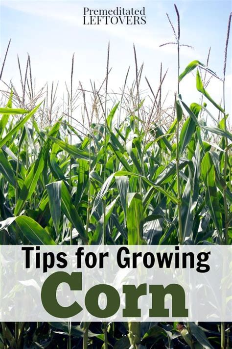 how to grow corn in your backyard 25 b 228 sta grow corn id 233 erna p 229 pinterest odla gr 246 nsaker