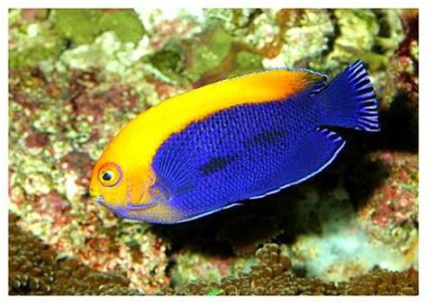 Jumping Beans Tank Stripe Orange pygmy angelfish knowledge base lookseek