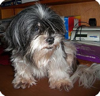 shih tzu jacksonville fl jacksonville fl shih tzu meet a for adoption