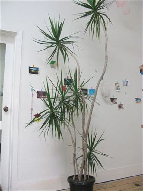 dracaena marginata  easy care   grow tall