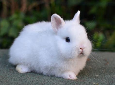 coniglietti nani alimentazione ermellino la stalla dei conigli allevamento e vendita
