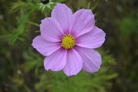 friendly plants out2play in the garden floral friday cosmos family friendly plants