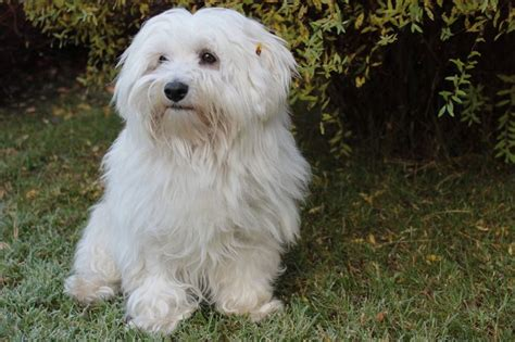 havanese tear stains 17 best images about havanese dogs on coats dogs and island