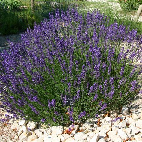 What Are The Gardening Zones - lavandula angustifolia