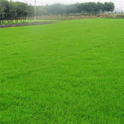 Grass Seed by 1000pcs Green Grass Seed Fescue Festuca Arundinacea