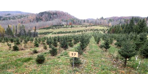 100 cut your own christmas tree farms cut your own