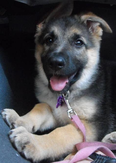 german shepherd puppies ears puppy has floppy ears home
