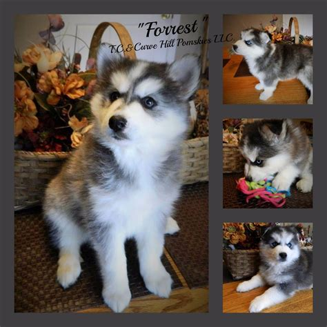 pomeranian husky for sale in arizona best images collections hd for gadget windows mac android