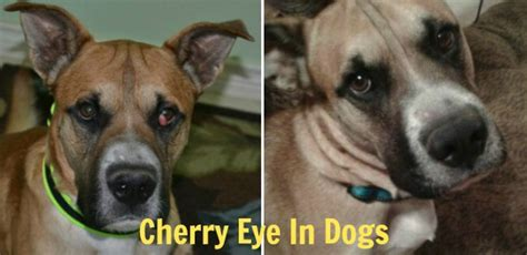 cherry eye treatment cherry eye in dogs causes is it contagious home treatment surgery cost pictures