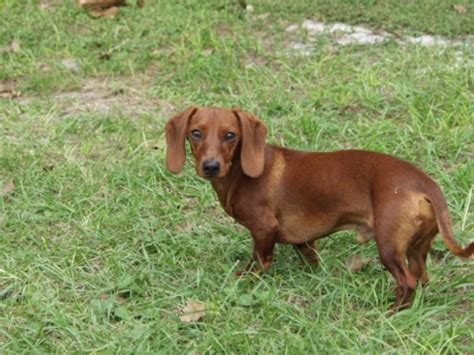 dachshund puppies for sale in illinois miniature haired dachshunds puppies for sale illinois akc breeds picture