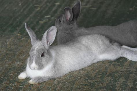Grey Rabbits beautiful grey rabbits for sale borehamwood hertfordshire pets4homes
