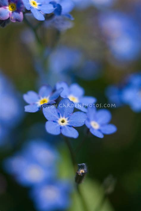 blue flowers picture tiny flowers in bloom light colored blue indigo forget me not myosotis plant