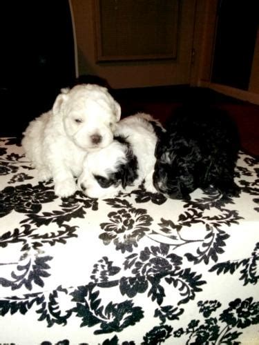 malshi puppies for sale in nc goodlettsville for sale puppies for sale