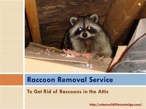 how to get rid of a raccoon in your backyard ppt get rid of raccoons powerpoint presentation id 7244991