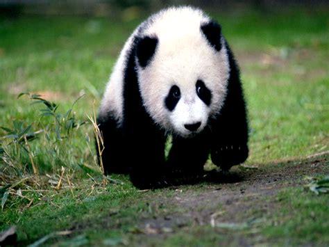 www panda panda wallpapers