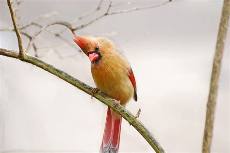 cardinal color birds unlimited photo cardinal color