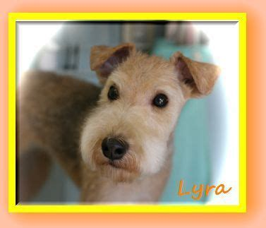photos of lakeland terriors hair styles 103 best images about dog hair on pinterest poodles