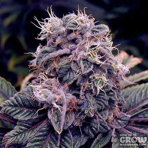 fruity cannabis strains blueberry tangerine mango