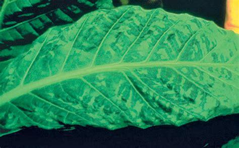 mosaic pattern disease tobacco mosaic virus symptoms transmission and management