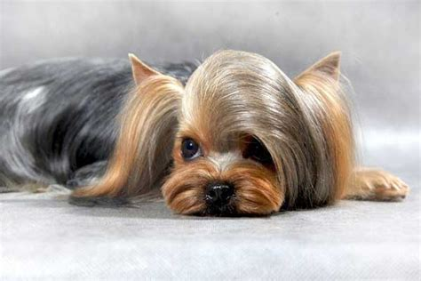 popular yorkie haircuts best yorkies haircuts hairstylegalleries
