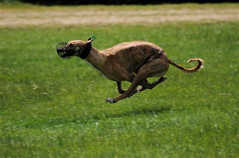 fastest dogs 10 fastest breeds with pictures what every deserves
