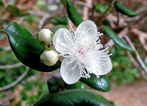 gardensonline luma apiculata