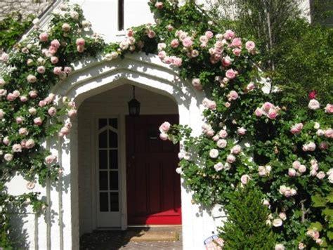Bibit Bunga Mawar Rambat cara menanam mawar rambat climbing bibitbunga