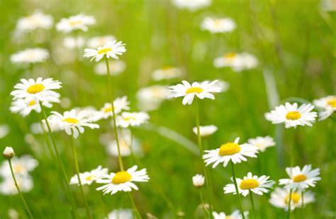 fiore camomilla significato dei fiori la camomilla pollicegreen