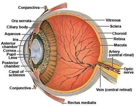 schematic section of the human eye best 25 human eye diagram ideas on pinterest