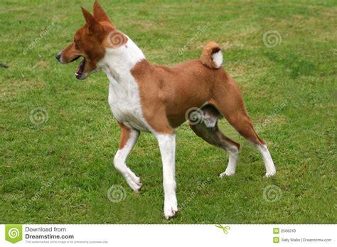 basenji puppies price basenji turning stock photos image 2566243