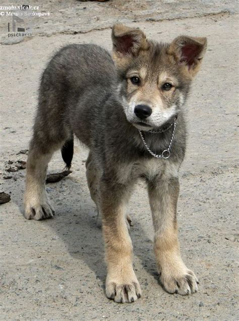 saarloos wolfdog puppies 10 best ideas about puppy wallpaper on puppies images