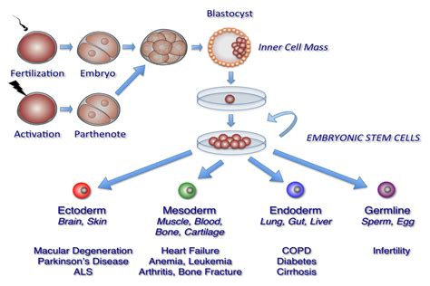 stem cell diagram newspaper article on stem cell research writefiction581