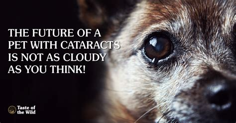 how much is cataract surgery for dogs how to act if you suspect cataracts in your pet taste of the pet food