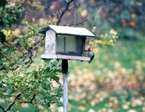 red headed chickadee at bird feeder photograph by linda