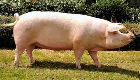 big white breeds landrace pig mostly the same as the large white but with a more curved snout i