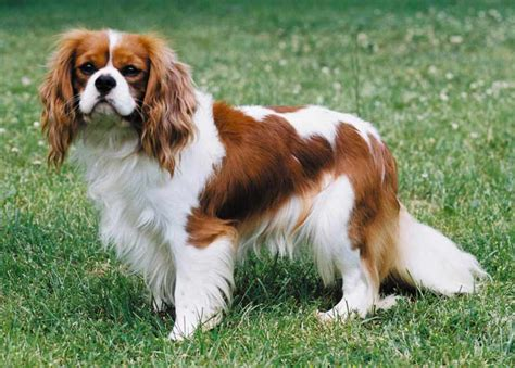 cavalier puppies cavalier king charles spaniel breed standards