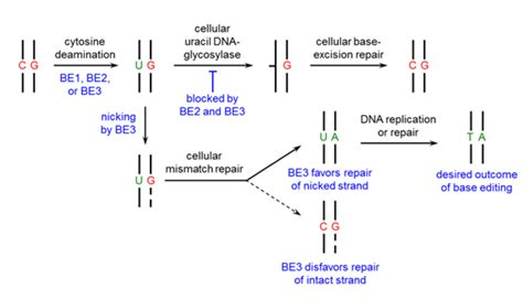 base layout editor guidelines for base editing in mammalian cells 183 benchling