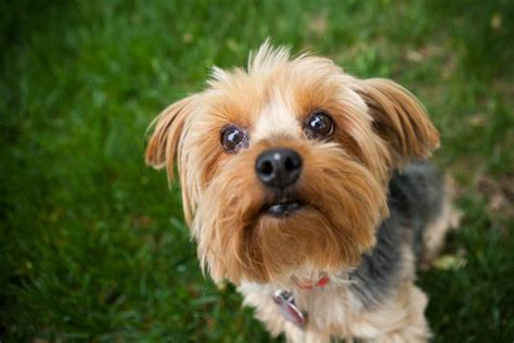 why yorkies are the best dogs how to be a responsible owner