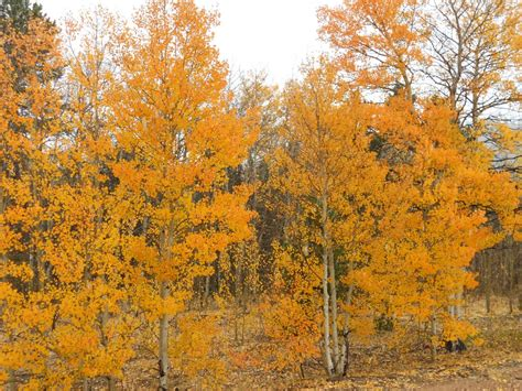 aspen fall colors panoramio photo of aspen fall colors