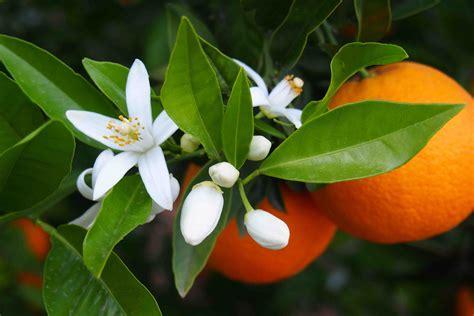 fiori d fiori d arancio nuvoleblu