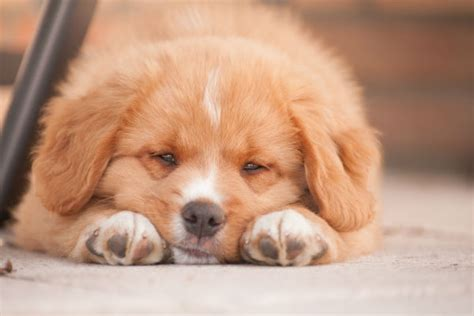 puppy sickness parvo what every puppy owner needs to about parvo in puppies american kennel club