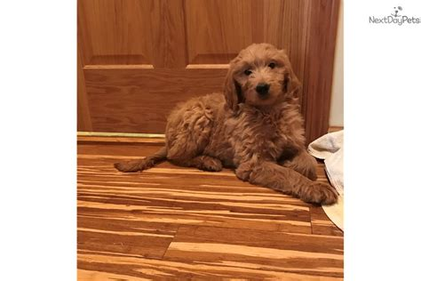 goldendoodle puppy age goldendoodle puppy for sale near chicago illinois
