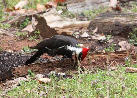 vickie henderson art pileated woodpecker ground foraging