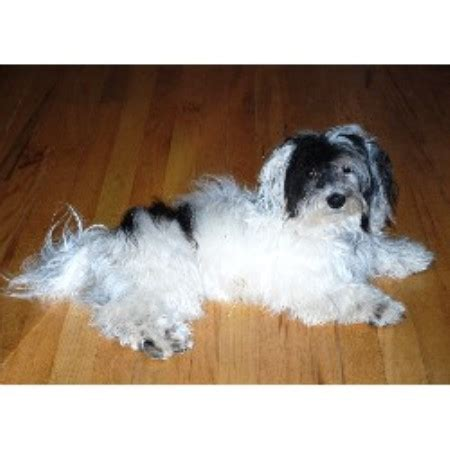 havanese breeders colorado desagres havanese havanese breeder in denver colorado listing id 18391