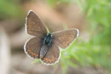 2012 Sb Butterfly Jumbo Tunik butterfly conservation sussex branch sightings and news
